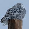 snowy owl    sm    28