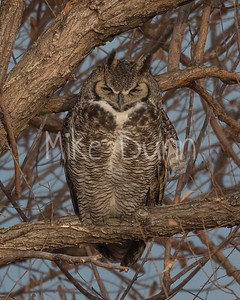 Great Horned Owl-28