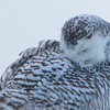snowy owl    sm    52
