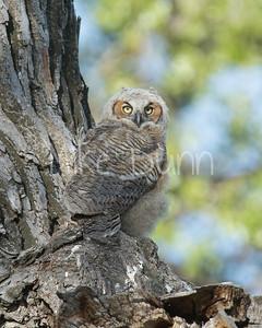 Great-Horned Owlet-12