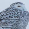 snowy owl   sm     57