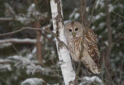 Barred Owl in Birch