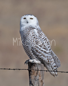 Snowy Owl-2