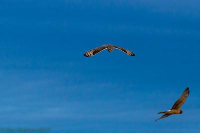 A short ear owl battles a harrier hawk