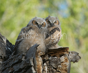 Great-Horned Owlets-11