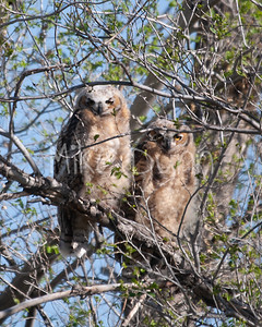 Great-Horned-Owl-15