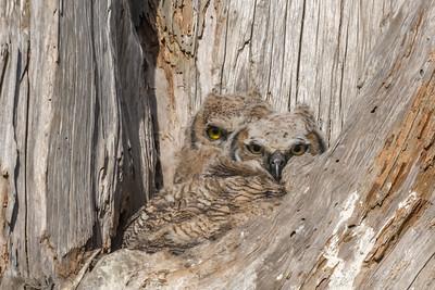 Great Horned Owl chicks, Point Reyes National Seashore