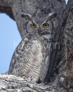 Great Horned Owl-23