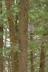 Great Gray Owl in Towering Hemlock