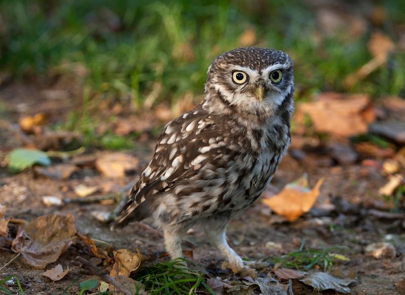 Little owl on the ground