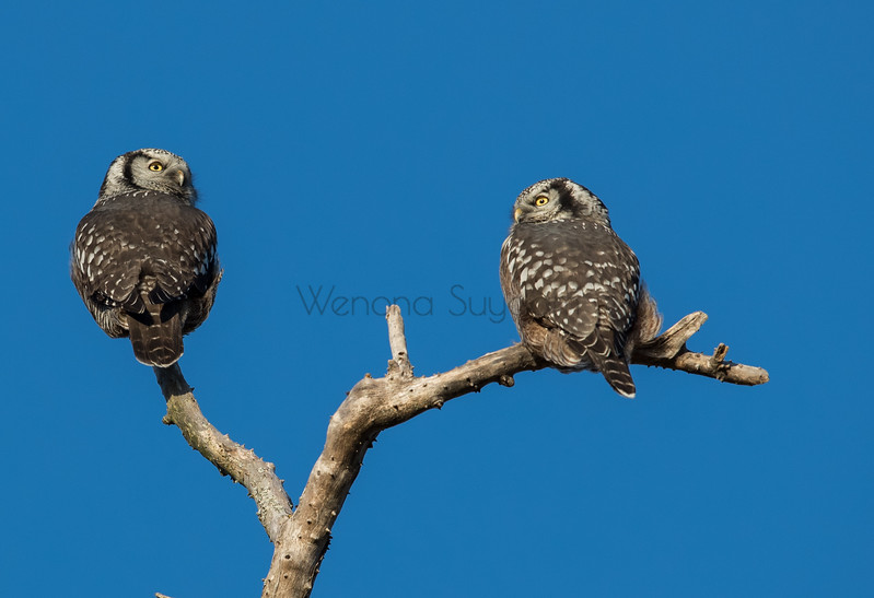 Two Northern Hawk Owls Hanging Together.