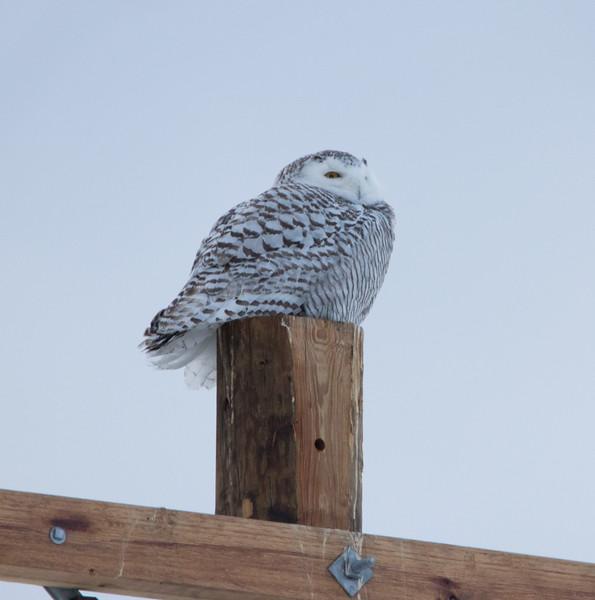 snowy owl   sm     48