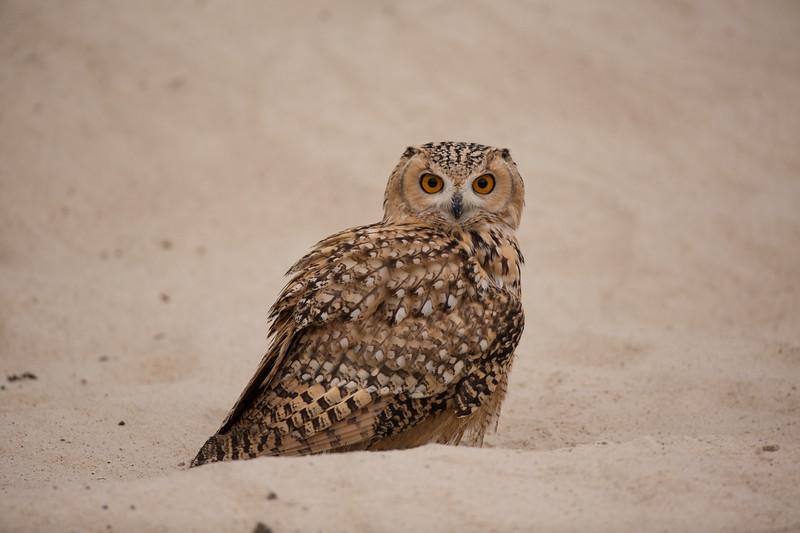 Pharaoh eagle-owl (Bubo ascalaphus)