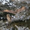 short earred owl                        8311 - Copy