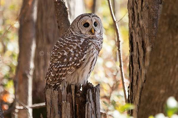 Barred Owl - 3