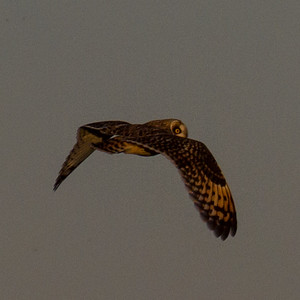 Short Eared Owl in Illinois