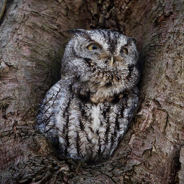Eastern Screech Owl Calling