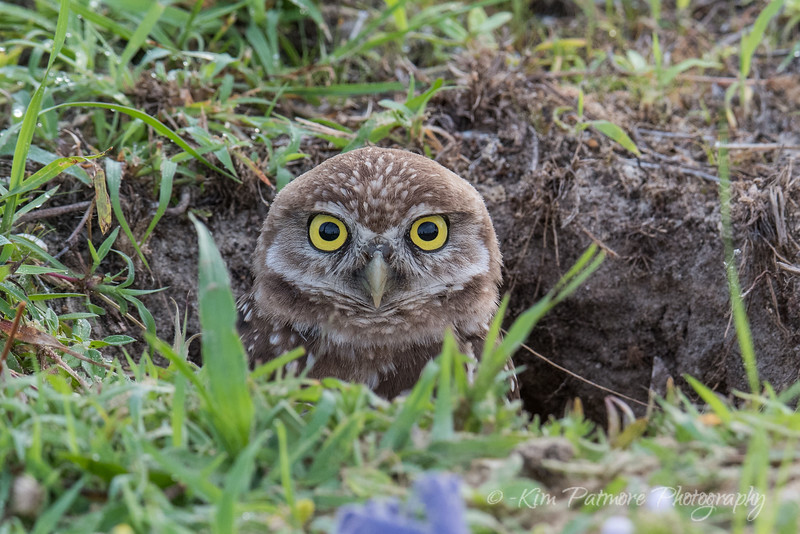 Peeking Burrowing Owlet