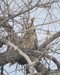 Great-Horned Owl-4