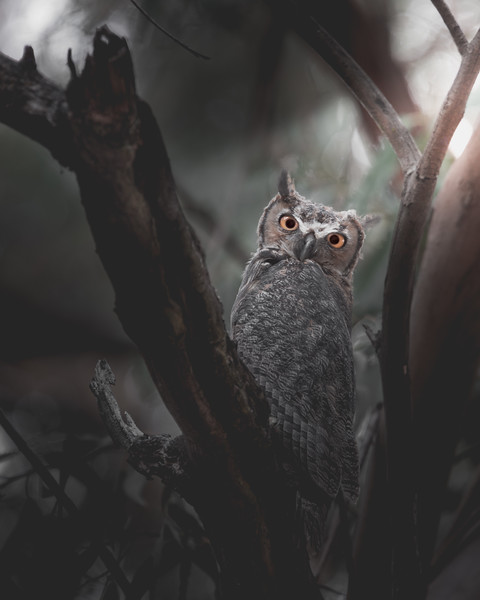 Great-Horned Owl Staring Back