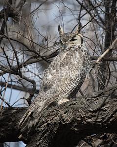 Great Horned Owl-11