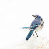 Blue Jay in White