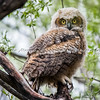 Great Horned Owlet has left the nest
