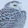 snowy owl    sm    47