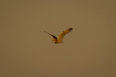 Short Eared Owl in Flight 2
