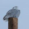 snowy owl    sm    25