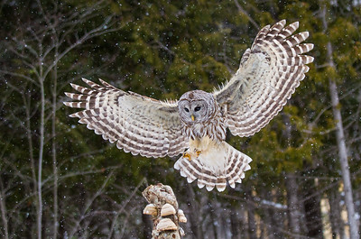 Barred Owl Landing on Stump