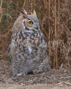 Great Horned Owl-25