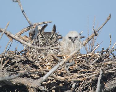 Great-Horned Owl-5