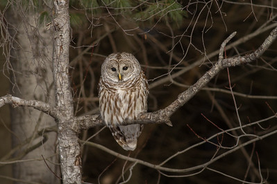 Barred Owl in Poplar