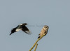 Northern Hawk Owl and Magpie.