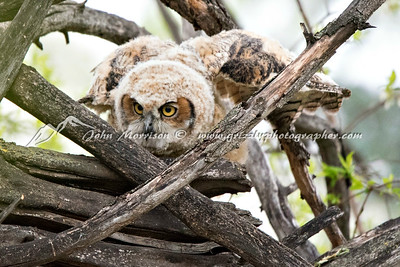 Great Horned Owl trying to fly