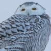snowy owl   sm     60