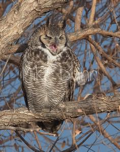 Great Horned Owl-29