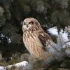 short earred owl                        7711 - Copy