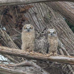 Great Horned Owl female with fledglings, PRNS.