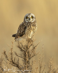 Short-eared Owl on Perch