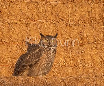 Great Horned-Owl-13