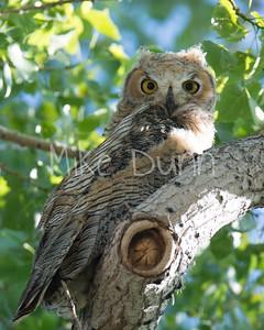 Great-Horned Owlet-2