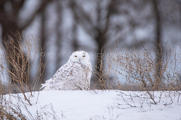 Snowy Owl  -img95761