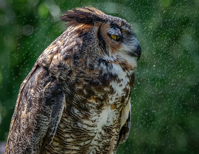 Great Horned Owl water spray