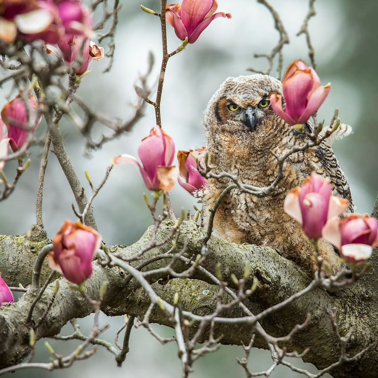 Great Horned Owlet hiding in a magnolia tree