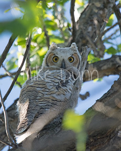 Great-Horned Owlet-14