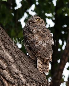 Great Horned Owl-31