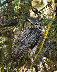 Great Horned Owl Camouflage