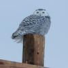 snowy owl   sm     33